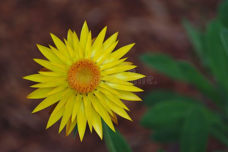 开花的黄色大丁草花有被弄脏的背景 免版税库存图片