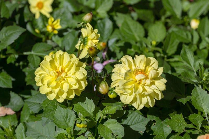 开花的黄色大丽花 库存图片