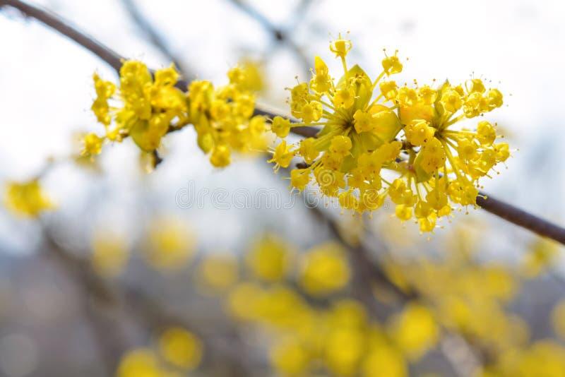 开花的黄色枝杈山茱萸照片在庭院里在春天 库存图片