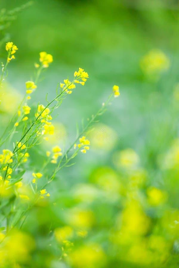 开花的黄色花的春天领域 狂放的黄色花在绽放,被弄脏的绿色领域背景 免版税库存图片