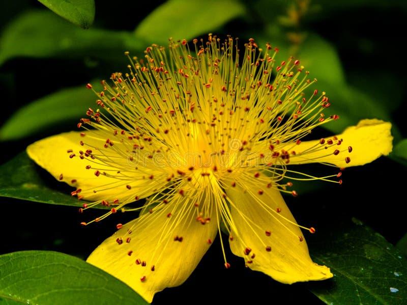 开花的黄色花 免版税图库摄影