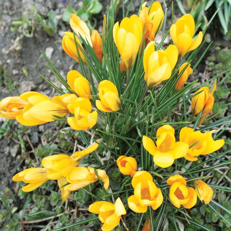 开花的黄色草甸番红花 库存照片