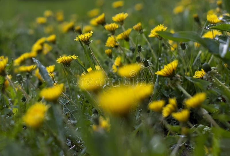 开花的黄色蒲公英和绿草在城市 免版税库存图片