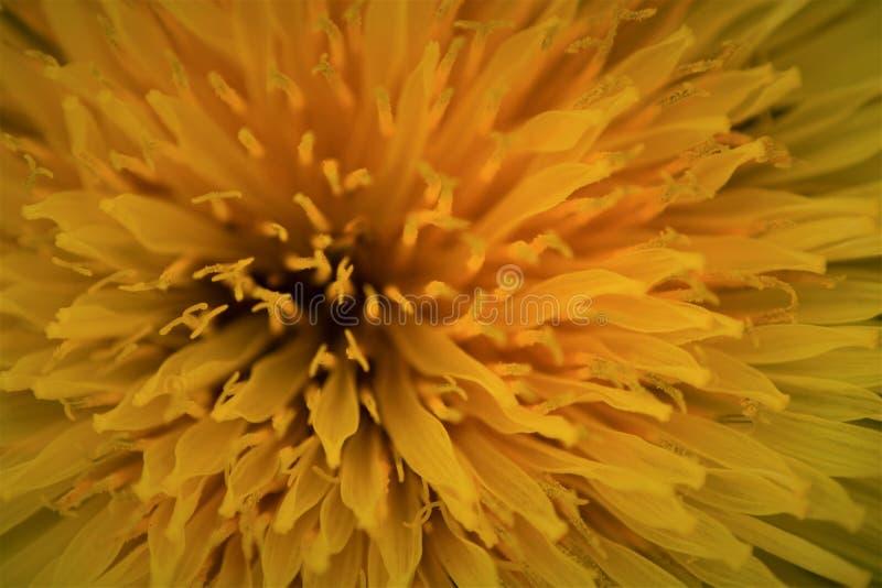 开花的黄色蒲公英宏指令  图库摄影