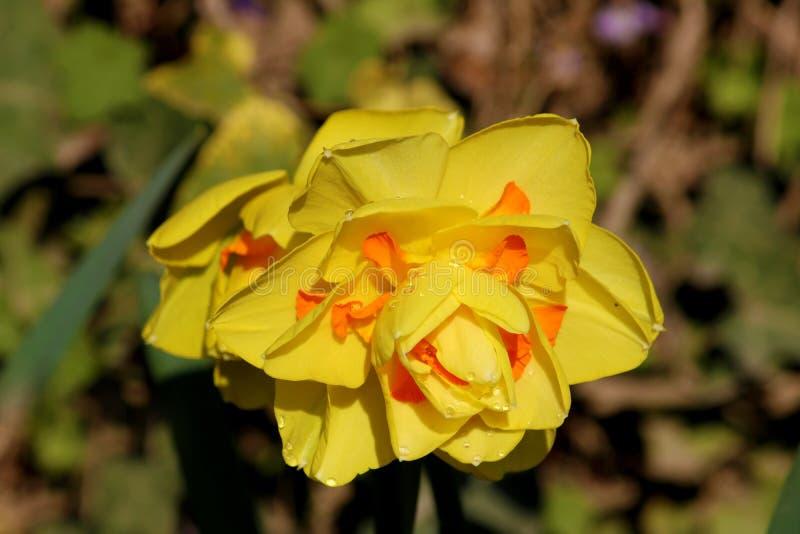 开花的黄色黄水仙花,水仙开花水仙pseudonarcissus,也知道作为野生黄水仙或被借的百合  图库摄影
