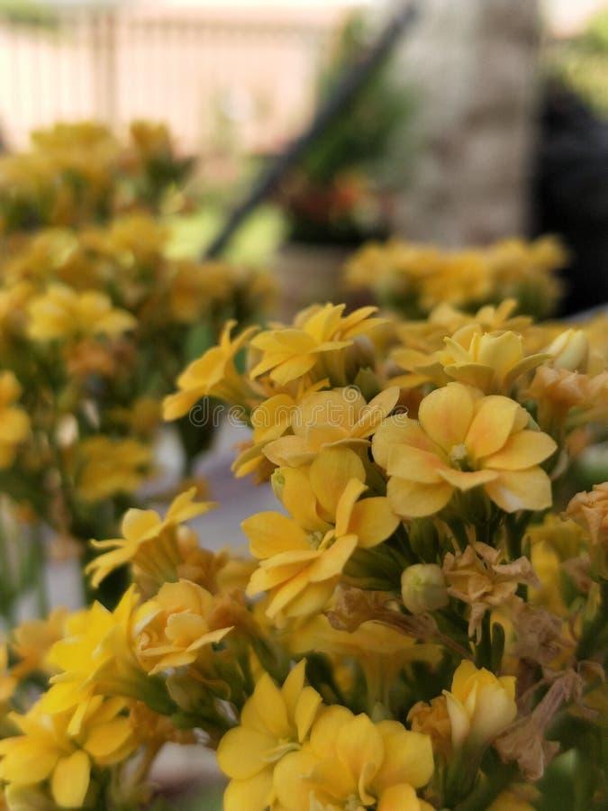 开花的黄色 免版税库存图片