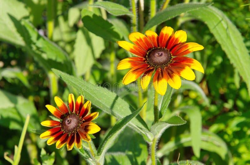 开花的黄金菊在夏天庭院里 库存照片