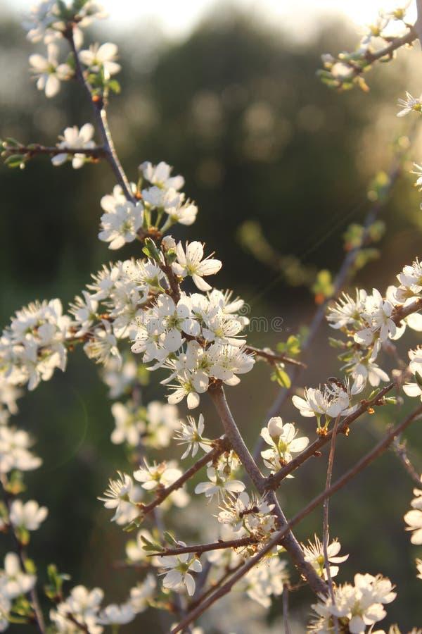 开花的黑刺李春天分支在阳光下 免版税库存图片
