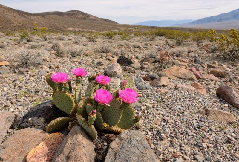 开花的仙人掌在沙漠 免版税库存照片
