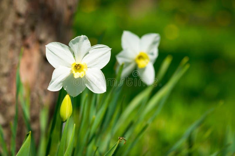 开花的水仙 开花的白色黄水仙春天 下雨 浅深度领域 选择聚焦 库存图片