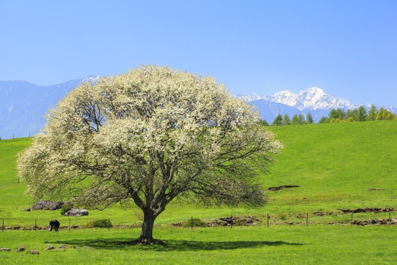 开花的洋梨树 库存照片