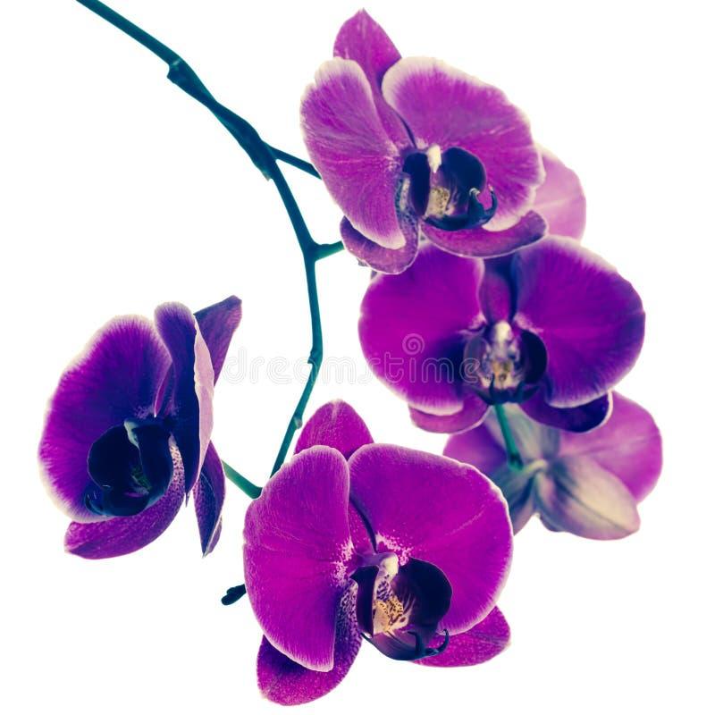 开花的紫色兰花花,兰花植物,葡萄酒样式 免版税库存图片