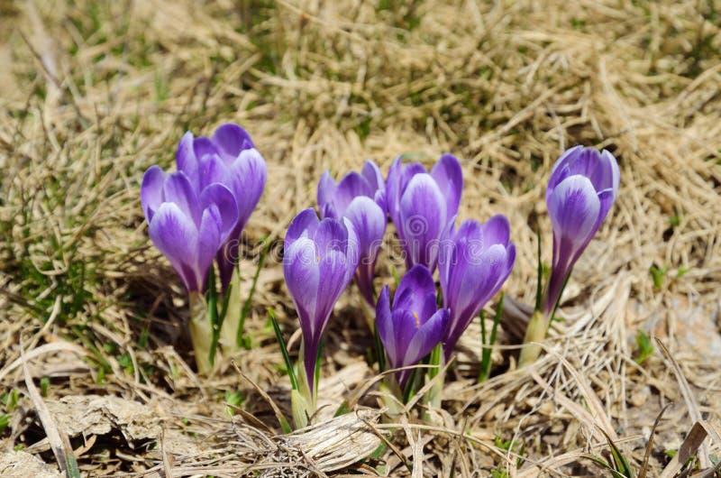 开花的紫色番红花 库存图片