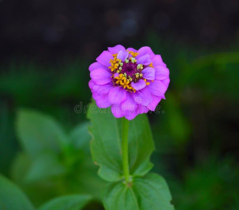 开花的紫色百日菊属(百日菊属elegans)开花特写镜头 库存照片