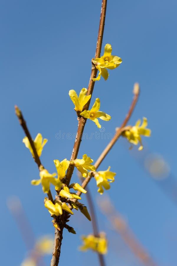 开花的黄色连翘属植物 库存照片