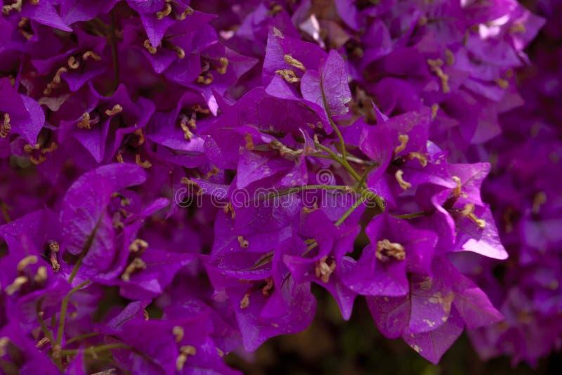 开花的紫色结构树 免版税库存图片