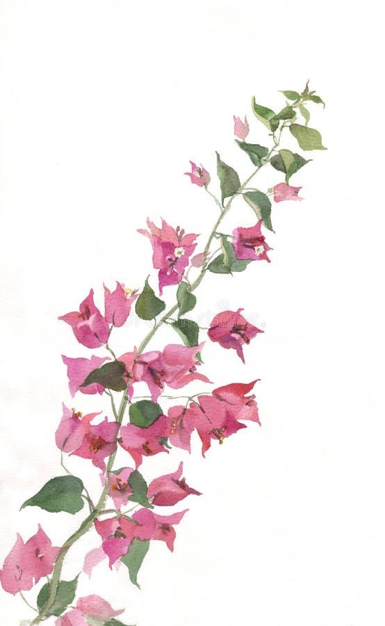 开花的bougenvillea分行绘画水彩 皇族释放例证