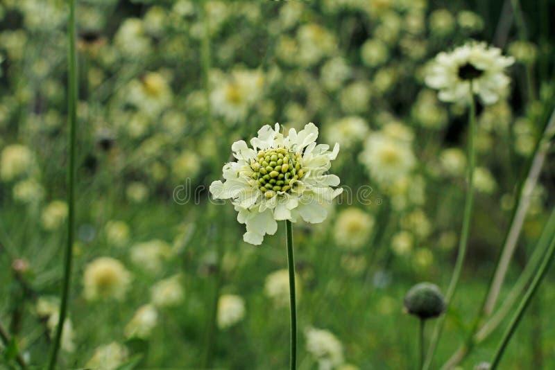 开花的cephalaria美丽的黄色花  免版税库存图片