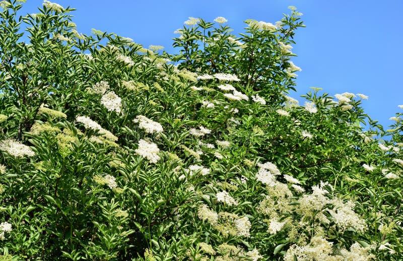 开花的elderflower 库存照片