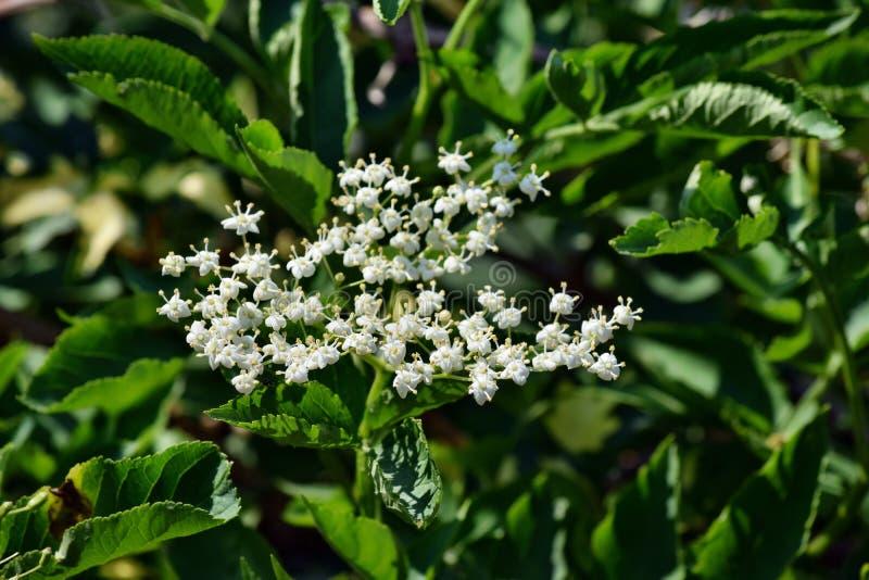 开花的elderflower 免版税库存图片