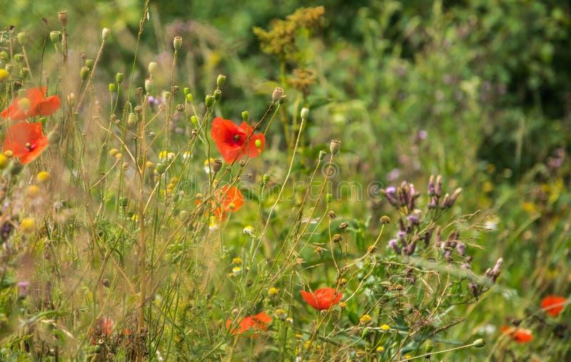 开花的forbs关闭  夏天开花的草甸特写镜头的片段 免版税图库摄影