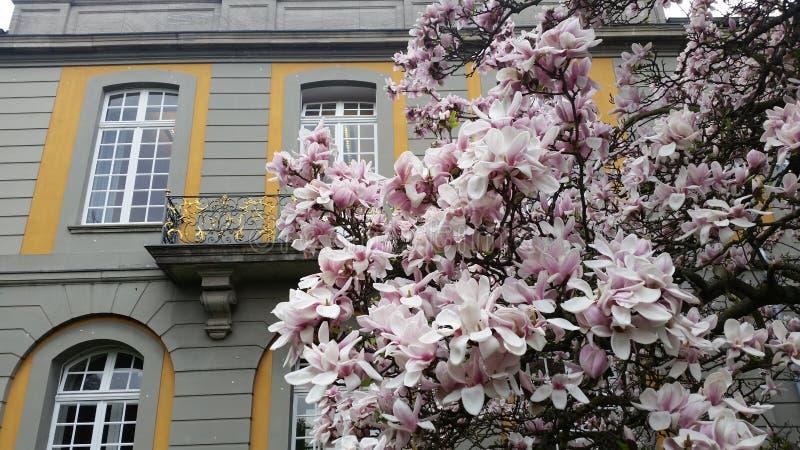 开花的Magnolie树 免版税库存图片