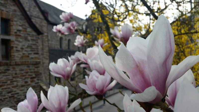 开花的Magnolie 库存图片