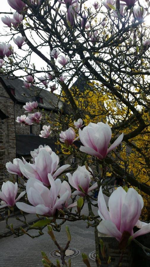 开花的Magnolie 免版税库存图片