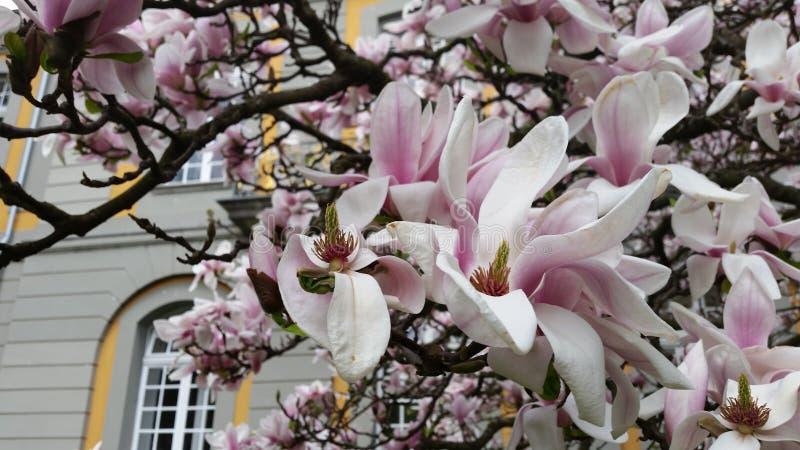 开花的Magnolie 免版税库存照片