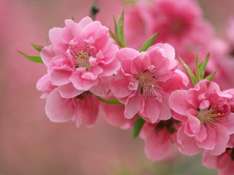 开花的peachs 免版税库存照片
