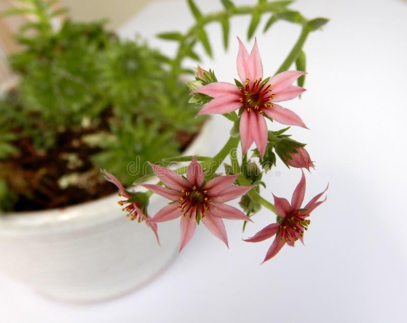 开花的sempervivum arachnoideum,多汁与一点桃红色绽放 库存图片