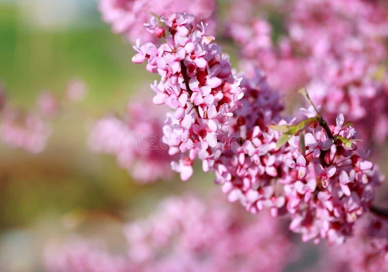 开花粉红色 免版税图库摄影