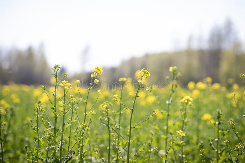 开花紧密以领域为背景的强奸植物 免版税库存图片