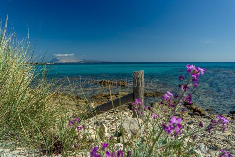 开花紫罗兰, Isuledda海滩,圣特奥多罗,撒丁岛,意大利 免版税库存图片