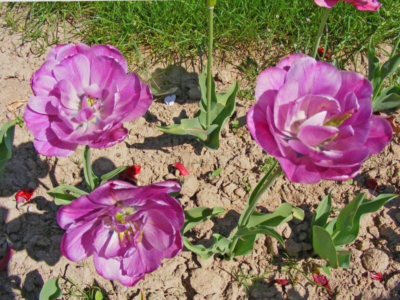 开花紫色和紫罗兰色郁金香在春天在晴天 免版税图库摄影