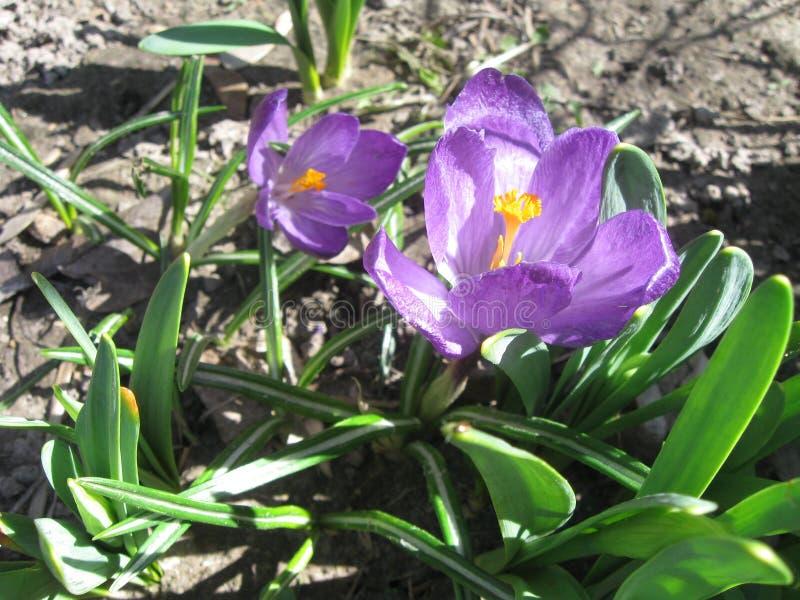 开花紫色 您` ll喜欢  图库摄影