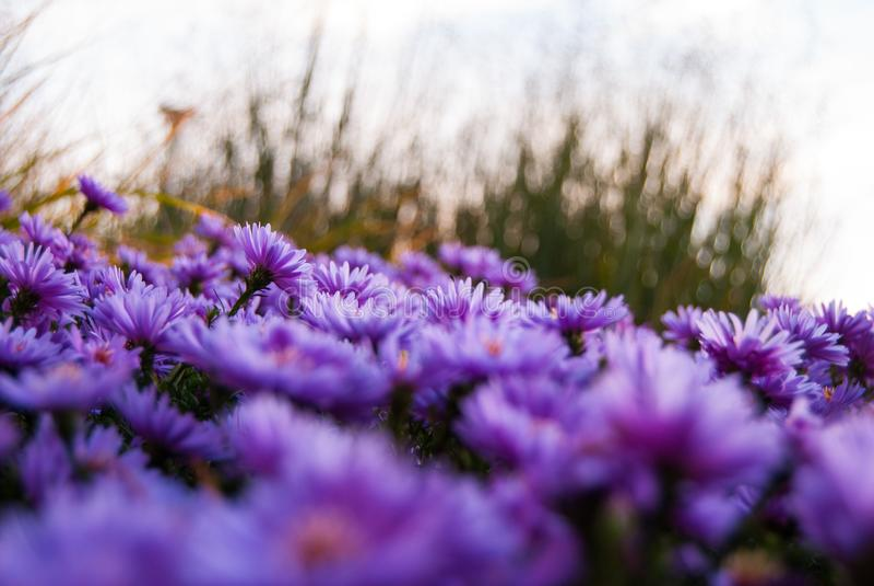 开花紫色 免版税库存照片