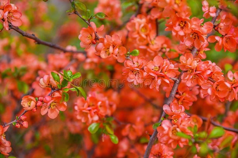 开花红色春天 图库摄影