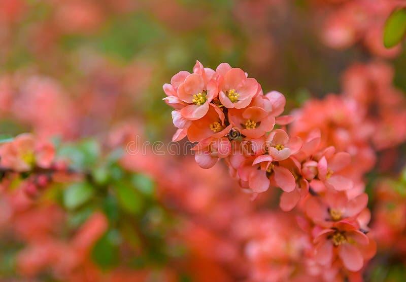 开花红色春天 库存照片