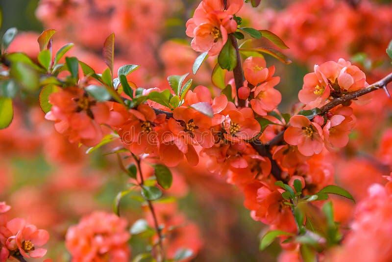 开花红色春天 库存图片