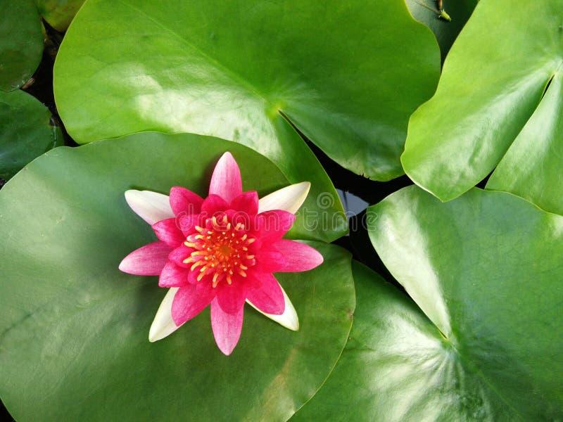 开花红色莲花或荷花在绿色叶子背景 免版税库存图片