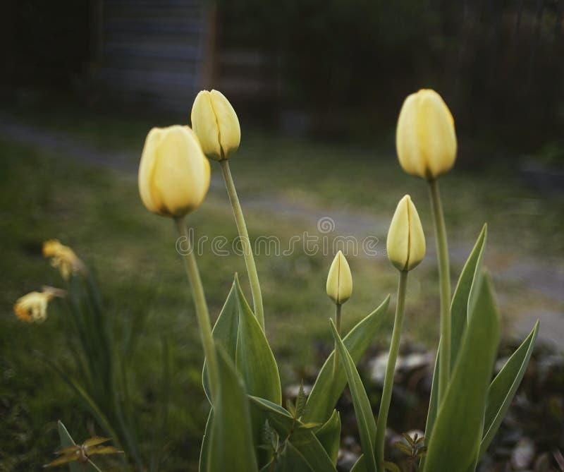 开花花束郁金香村庄庭院绿色叶子自然 图库摄影