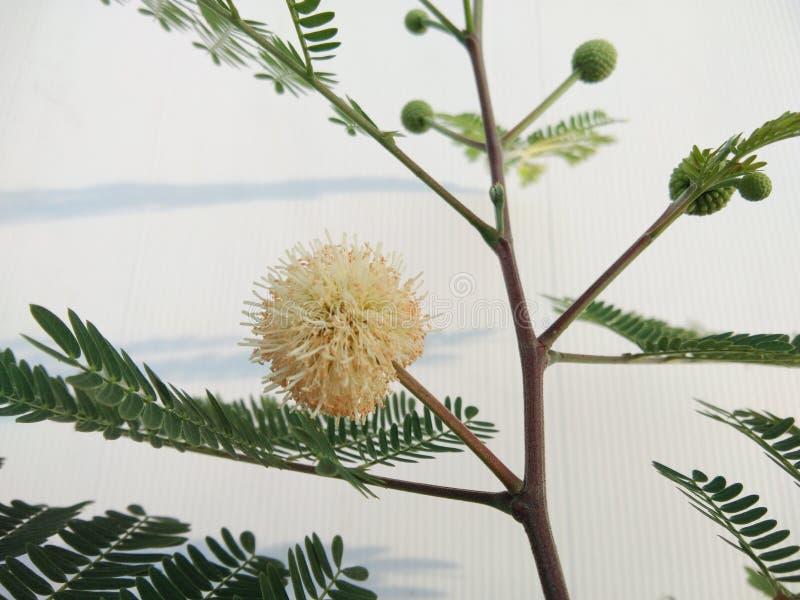 开花花白色popinac,银合欢属,树枝状铅,马罗望子树绿色叶子  免版税图库摄影