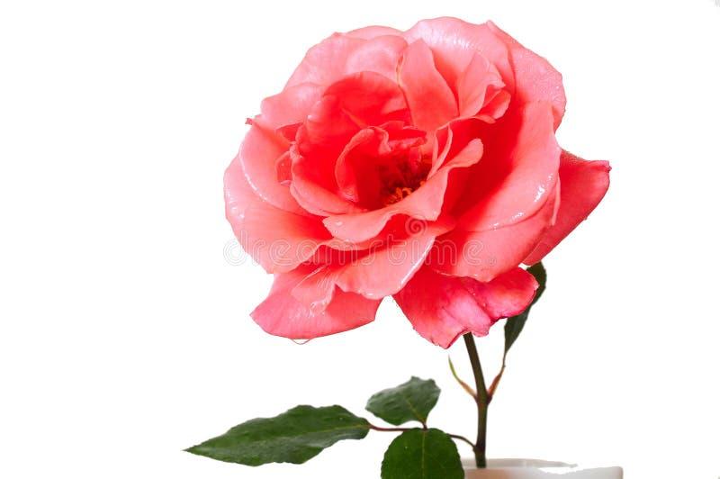 开花花粉红色上升了 免版税库存图片