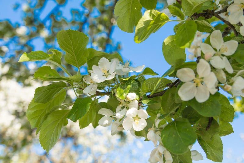 开花苹果计算机树 哥罗德诺 库存照片