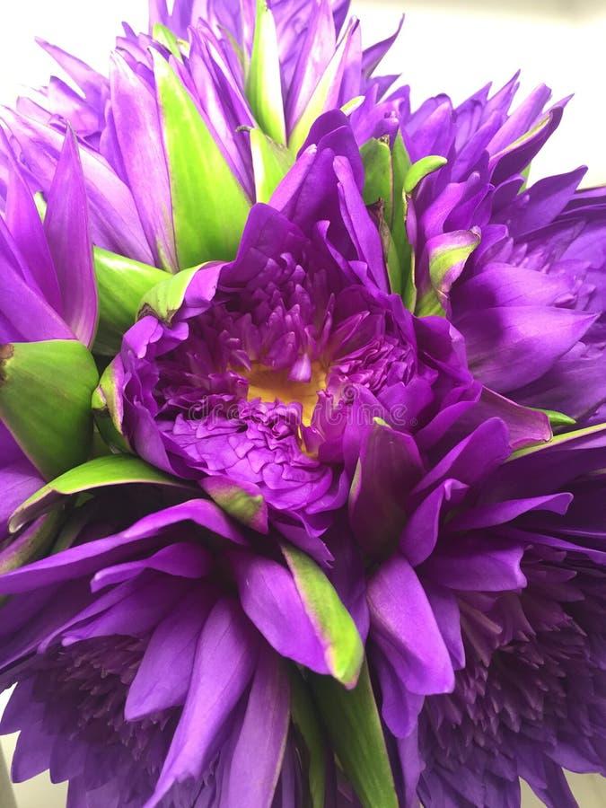 开花莲花紫色 库存照片