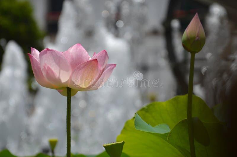 开花莲花 免版税库存照片