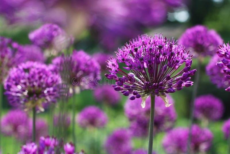 开花葱紫色 库存照片