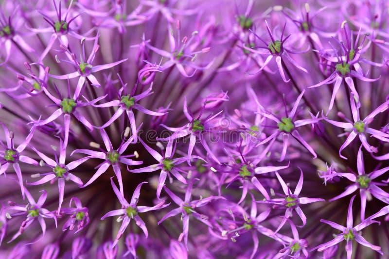 开花葱紫色 免版税图库摄影