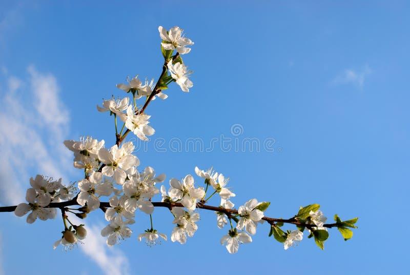 开花蓝色樱桃天空 免版税库存照片